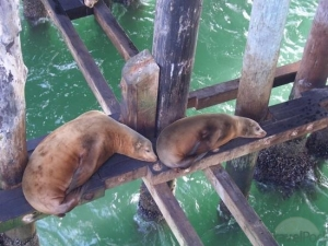 lazy-sealions-below-santa-cruz-pier-mad-river